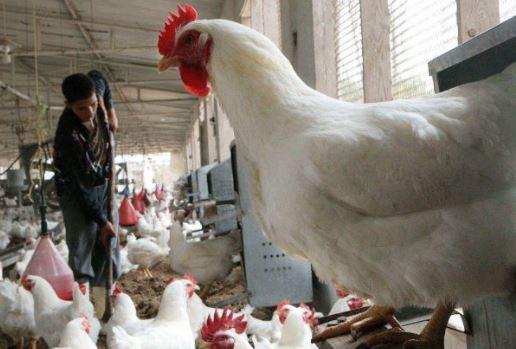 الزراعة : غزة لا يوجد بها انفلونزا الطيور تماما